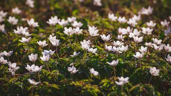 Wood Anemone Forest