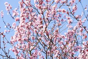 Flowering Cherry Japanese