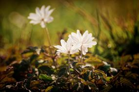 romantic wood anemone in spring
