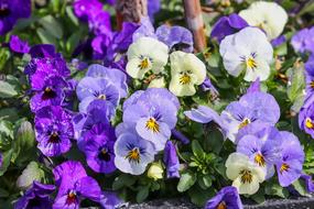 purple, blue and white violets in the flowerbed