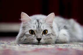 adorable grey fluffy cat