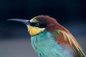 European Bee Eater, close up of colorful Bird with long beak