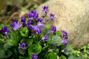 amazing Violets Flowers