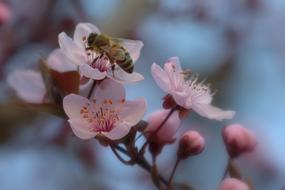 bee on the cherry blossom in spring