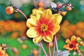 red and yellow open Dahlia Flowers outdoor