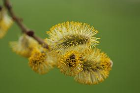 willow catkin on a branch