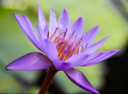 unusually beautiful Water Lily Flower