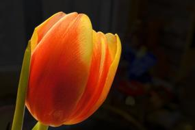 gorgeous orange Tulip Blossom