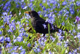 Blackbird Meadow Foraging