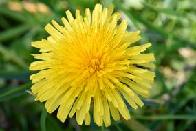 Yellow blossom of Dandelion close up