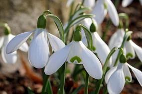Snowdrops, white blossoms close up outdoor