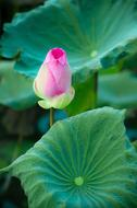 Lotus, Green leaves and Pink flower bud