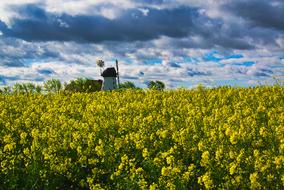 Rapeseeds and Windmill