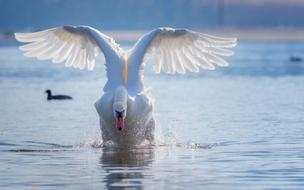 beautiful swan with raised wings in the middle of the lake