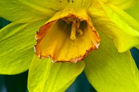 macro photo of open daffodil bud