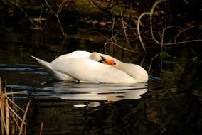 delightful Swan Bird