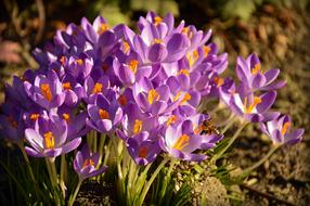 Crocus Early Bloomer
