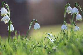 photo of dew on snowdrops
