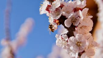 a bee collects nectar from a blossoming apple tree