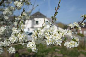 Plum Blossoms at village house