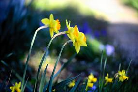 Daffodils in bloom on flower bed at Spring