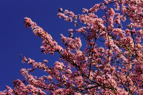 pink ornamental cherry Blossoms at blue sky