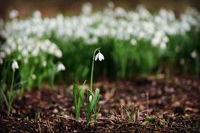 Snowdrops, White spring Flowers in wild