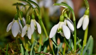 drooping white snowdrop buds