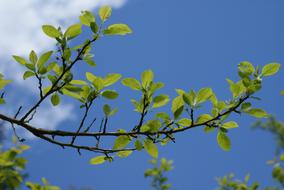 spring tree branch against a clear blue sky