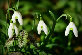 snowdrops with white petals