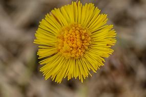 Coltsfoot, Yellow Spring flower, macro