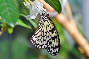 exotic black and white butterfly on a white bud