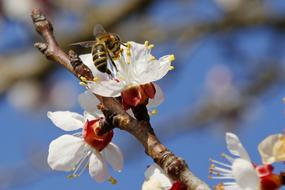 wasp pollinates a blossoming apple tree