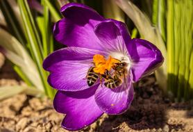 two bees on a purple crocus
