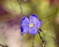 flowering blue flax