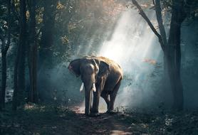 elephant in the dense forest