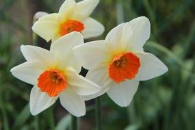 amazing Narcissus Spring Daffodil