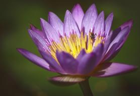 attractive Lotus Flowers