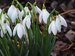delightful Snowdrops Early