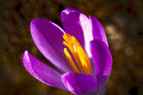 attractive Crocus Spring