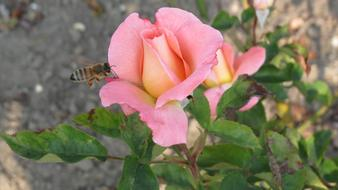 Bee in flight at pink rose