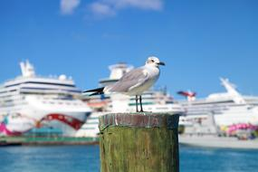 Seagull and big Cruise ship