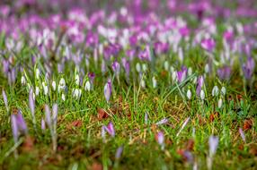 attractive Crocus Snowdrop Spring