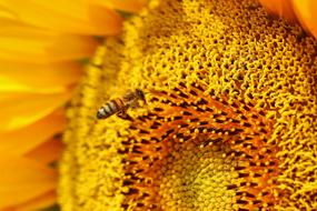 honey bee pollinating yellow sunflower