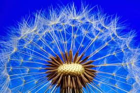 partly bald seed head of Dandelion at blue background, Macro