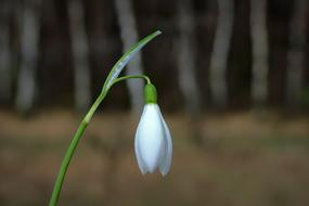 Snowdrop, white blossom close up, Early Spring Flower