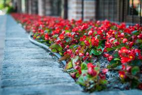 red begonia in bloom on flower bed