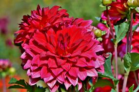 red Dahlias with Buds in garden