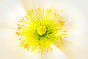 yellow stamens and pistil of white Poppy close up