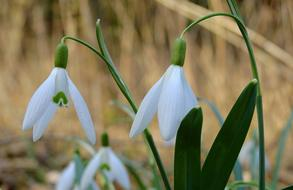Sector Snowdrop Flowers